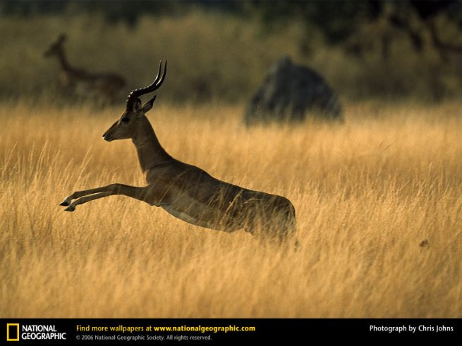 The Impala-image courtesy National Geographic Society