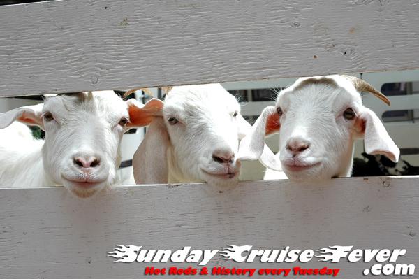 Three baby goats.  Honda's Insight blows goats.  Coincidence?
